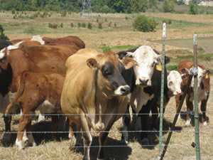 outdoor learning spaces: cattle