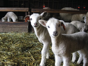 outdoor learning spaces: sheep in barn